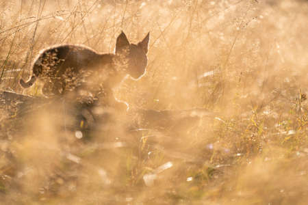 Cute small lynx cub in the morning yellow sunlight in the grass. Focused small baby animal.