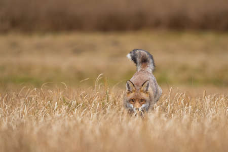 Red fox hidden in the yellow field. Animal hunter in action from a front view