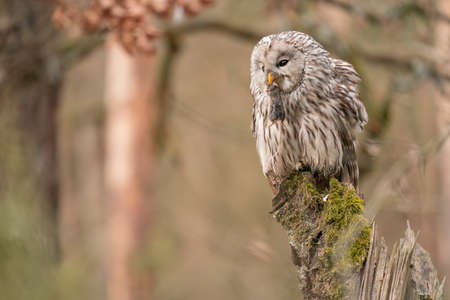 Ural owl with mouse in beak sitting on a tree stump. Strix uralensis