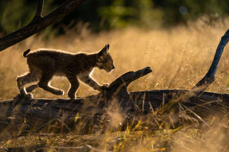 Small lynx from side walking on a fallen tree trunk. Silouhette of small lynx in the morning golden light.
