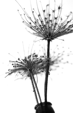 Black and white abstract flower background, soft focus photo