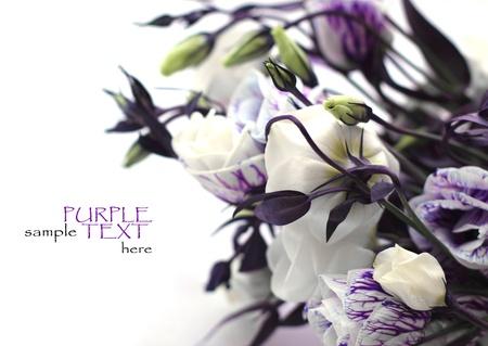 morado: flores de color p�rpura sobre un fondo blanco Foto de archivo