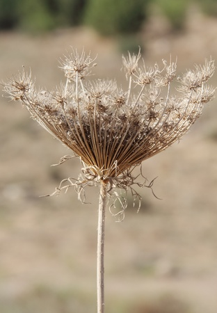 sere: gray faded flower on a background of autumn grass