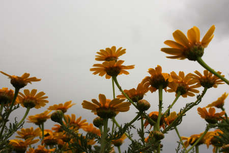 Yellow flowers in the field before the rain photo