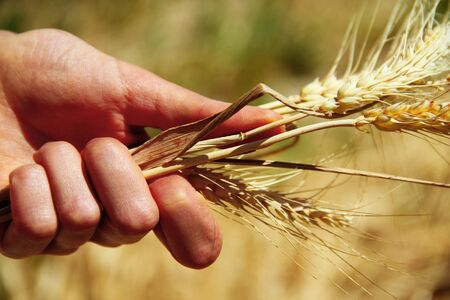 Wheat ears in the hands photo