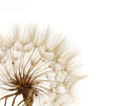 dandelion on white background photo
