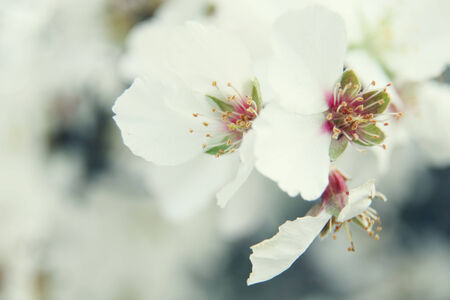 almond blossom flowers photo