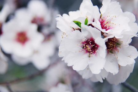 Beautiful spring blossom of almonds tree with white flowers photo