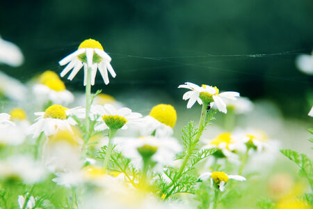 daisies on meadow photo