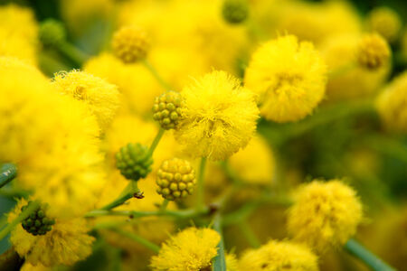 Closeup of yellow acacia (mimosa) trees on the nature photo