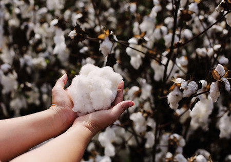 Woman is holding natural cotton