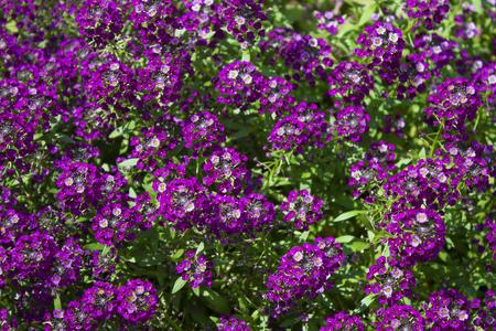 alison: Lobularia maritima, common name sweet alyssum or sweet alison.