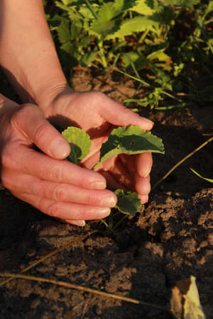 Gardener s hand holding a cabbage plant in the ground. Preparations for the garden season in spring