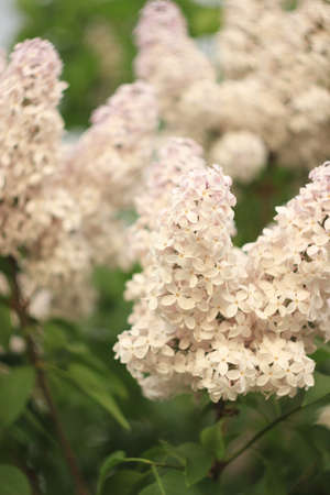 Blossoming common Syringa vulgaris lilacs bush white cultivar. Springtime landscape with bunch of tender flowers. lily-white blooming plants background against blue sky. Sof focus.