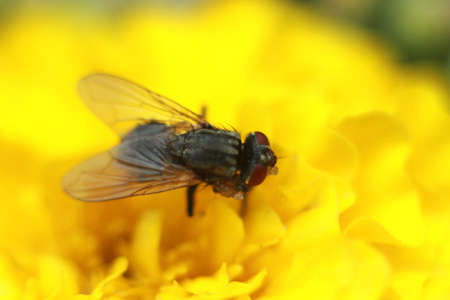 black fly on a yellow flower close up. Stok Fotoğraf