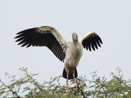 oscitans: Asian Openbill Stork Anastomus oscitans spreading wings