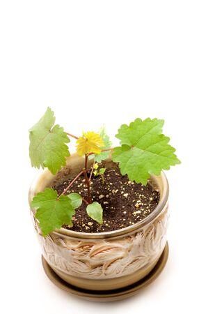 Little grape plan grown in pot on white background