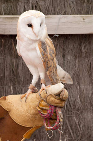 handlers: Tamed barn owl at a zoo