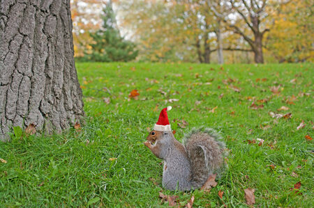 Eating squirrel wearing red Christmas hat sitting on the grass photo