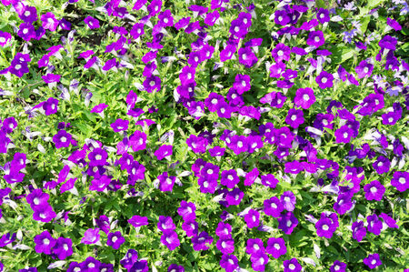 Flowerbed with violet petunias  photo