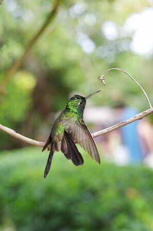 forked tail: Male Cuban emerald hummingbird (Chlorostilbon ricordii) landing on a branch