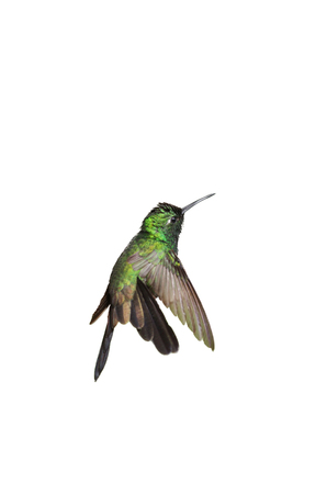 forked tail: Male Cuban emerald hummingbird (Chlorostilbon ricordii) hovering motion isolated on white background