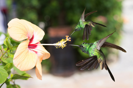 forked tail: Two male Cuban emerald hummingbirds (Chlorostilbon ricordii) hovering on yellow hibiscus flower