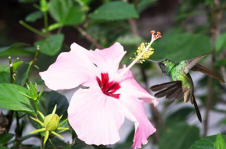 forked tail: Male Cuban emerald hummingbird(Chlorostilbon ricordii) hovering on pink hibiscus flower