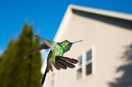 forked tail: Hummingbird hovering over a house in background, concept of coming home