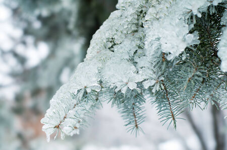 winter thaw: Ice surrounds the branches of ornamental trees during a winter snow and freezing rain storm Stock Photo