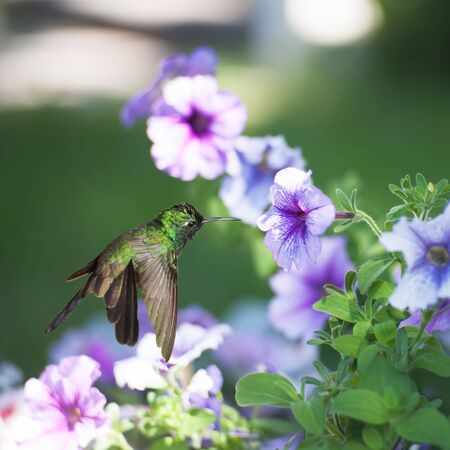 forked tail: Male Cuban emerald hummingbird(Chlorostilbon ricordii) hovering on violet flower