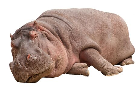animals amphibious: Sleeping hippopotamus isolated on white background