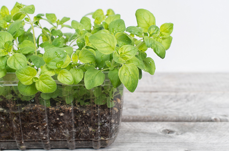 Fresh oregano plants growing in a pot on a wooden table Banque d'images