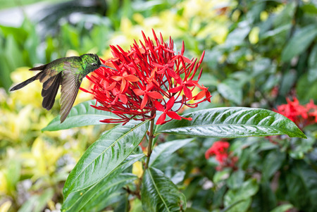 forked tail: Male Cuban emerald hummingbird(Chlorostilbon ricordii) hovering on red flowers