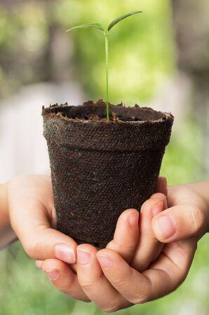 Child hands holding lemon seedling in brown peat pot against green background Reklamní fotografie