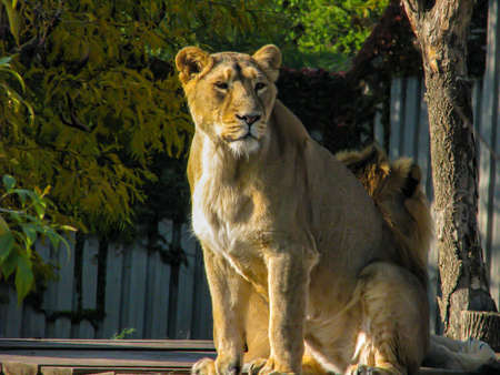 Beautiful lioness in a sunny day looks around. Stock Photo
