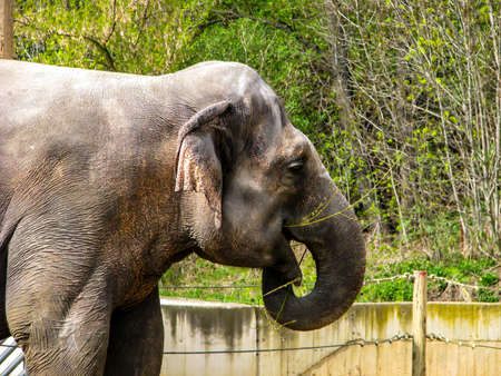 Beautiful elephant in sunny day - open mouth.