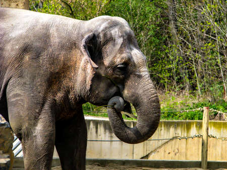 Beautiful elephant in sunny day - open mouth. Stock Photo - 121614488