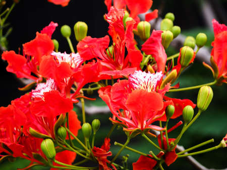 Closeup Caesalpinia pulcherrima red guppy flower tree plant nature background