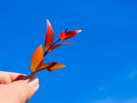 fairtrade: Hand holding red leaf over blue sky  background Stock Photo