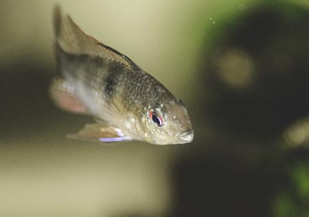 cichlid: wild cached ram cichlid