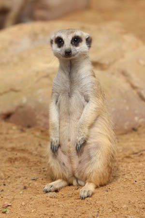 The meerkat or suricate, Suricata suricatta, is a small mammal belonging to the mongoose family