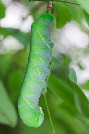 Caterpillars or larvae of the butterfly  photo