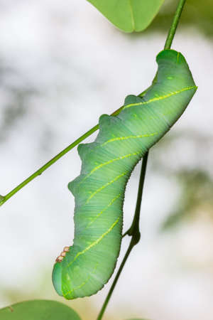 Caterpillars or larvae of the butterfly caterpillars means  �  photo