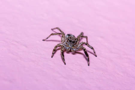 arachnoid: Jump spider  Photo taken on  April 7th, 2014 at Thailand