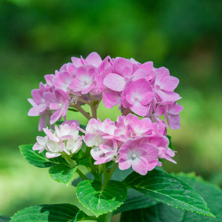 pedicel: African Violet, a bouquet of flowers Pedicel