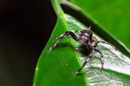 arachnoid: jump spider