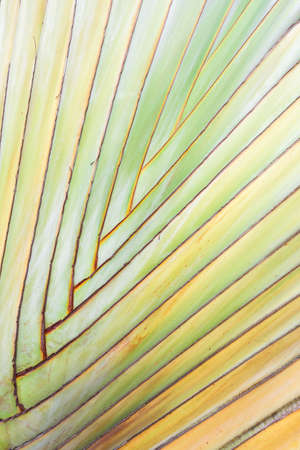 bark palm tree: Texture of tree bark. Palm tree. Background. Pattern of tropical Palm trunk. Travellers- tree , Ravenala madagascariensis Palm use for background. Banana tree texture and background Stock Photo
