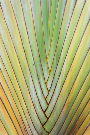 Texture of tree bark. Palm tree. Background. Pattern of tropical Palm trunk. Traveller's- tree , Ravenala madagascariensis Palm use for background. Banana tree texture and background 版權商用圖片