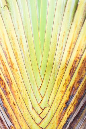 bark palm tree: Texture of tree bark. Palm tree.